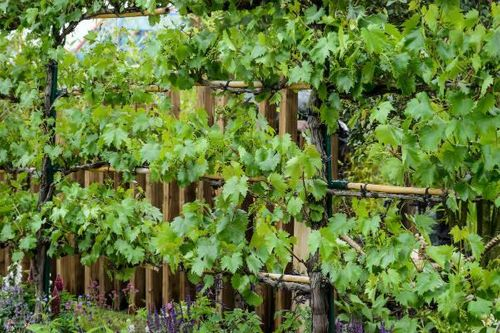 Grapevines - plant of the month