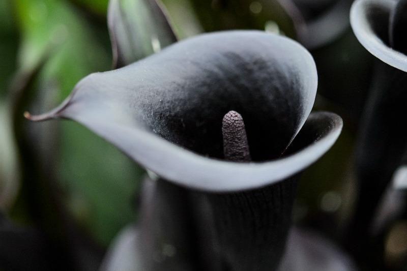 The Best Black Blooms