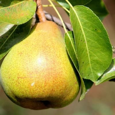 Seasonal Pears, grow and eat!