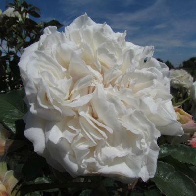Rose 'Crazy in Love'
