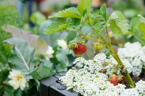 growing tips for strawberries, recipe idea, gardeners world, good food